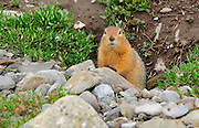 Artic Ground Squirrel in Denali National Park