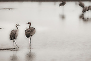 Israel, Hula Valley, Common Cranes (Grus grus) wade in the water Digitally manipulated