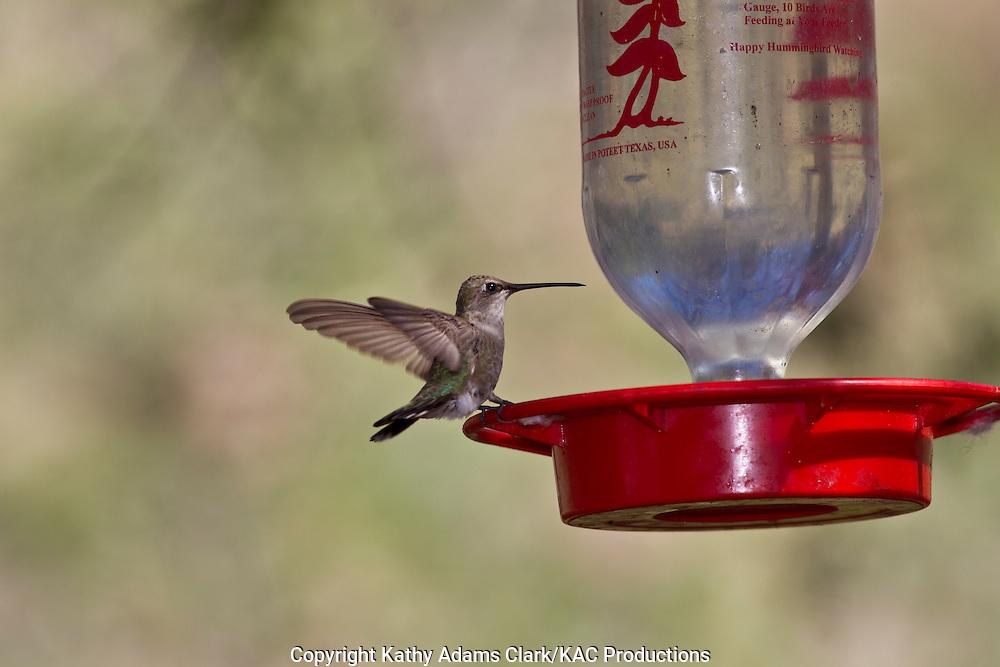 Black-chinned hummingbird, Archilochus alexandri, at feeder, Marathon, Texas, west Texas,