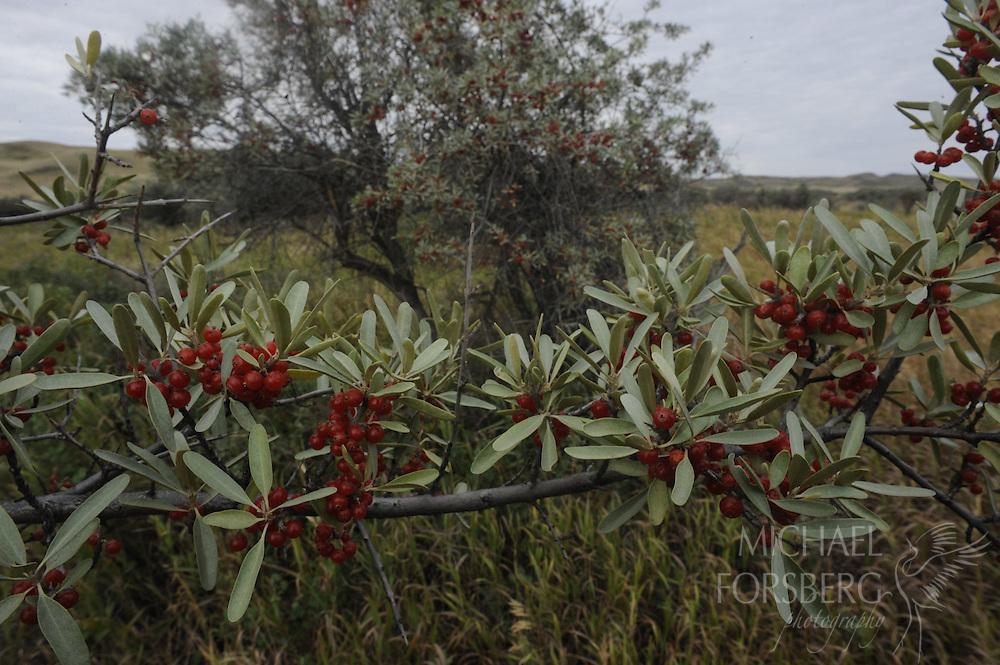 Grasslands National Park, Saskatchewan, Canada..Buffaloberry bushes in fruit along banks of Frenchman River