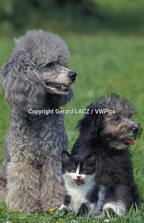 Apricot Standard Poodle, Mother, Pup  and Kitten sitting on Grass