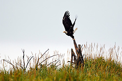 Bald Eagle (Haliaeetus leucocephalus) flies off a stump surrounded by grass, Lake Clark National Park, Alaska, United States of America