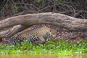 Jaguar hunting along the Pixiam river in the Patanal, Brazil