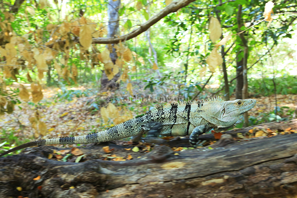 Male Black spiny-tailed iguana (Ctenosaura similis) running. Santa Rosa National Park, Guanacaste, Costa Rica.
