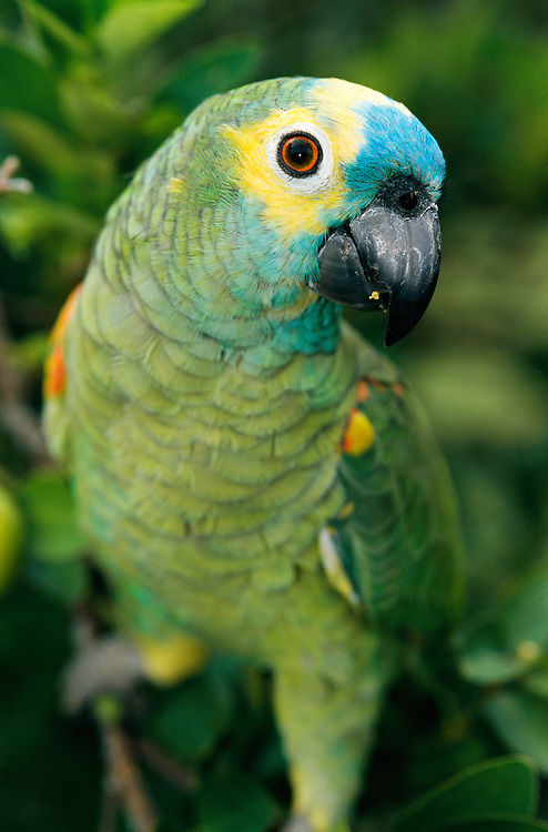 Bluefrowled Amazon, Amazona aestira, Pantanal, Brazil