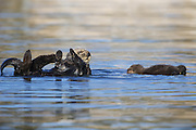 Southern Sea Otter<br /> Enhydra lutris <br /> Mother with young pup (less than one-week-old) floating beside her<br /> Monterey Bay, California