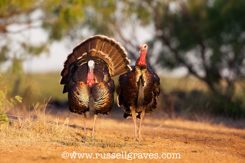 RIO GRANDE TOM TURKEY STRUTTING FOR FEMALES
