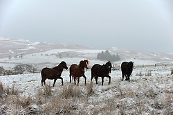 © Licensed to London News Pictures. 12/01/2017. Builth Wells, Powys, Wales, UK. Young Welsh ponies are seen in a wintry landscape on the high moorland of the Mynydd Epynt range near Builth Wells in Powys, Mid Wales, UK. Photo credit: Graham M. Lawrence/LNP