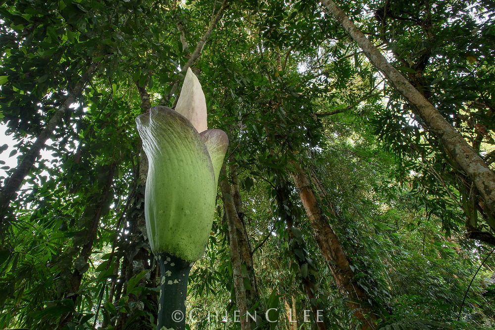 Blooming only once every three years, a corpse lily (Amorphophallus hewittii) opens its enormous inflorescence in the lowland rainforest of Borneo. The white spadix generates its own heat which helps to disperse its rotting stench to attract flies and beetles as pollinators.
