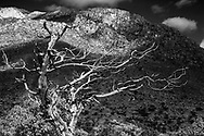 A wind-formed dead tree at the foothills of the Guadalupe Mountains stands out from cloud shadow, © 1983 David A. Ponton