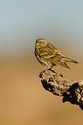 Serin (Serinus serinus) perched on a branch, Alicante,Spain,Europe