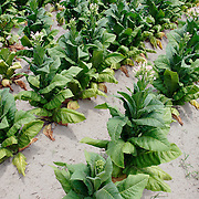 Rows of flowering tobacco plants line fields near Fayetteville, NC.