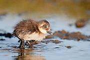Spectacled Eider, Somateria fischeri, duckling, Yukon Kuskokwim Delta NWR, Alaska