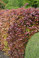 Hedge of Fagus sylvatica f. purpurea  - Copper beech in spring