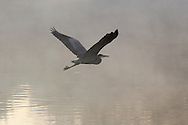 Hamptonburgh, N.Y. - A heron flies into the early morning mist over a pond at Thomas Bull Memorial Park in Hamptonburgh on Oct. 17, 2006. ©Tom Bushey