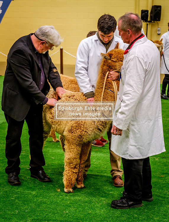 Lanark Scotland 15th April 2017:  The Second Scottish Alpaca Championship, organised by the Scottish Alpaca Group, took place on Saturday 15th April 2017 at Lanark Auction Market. The event had a record entry of 140 alpacas being shown and judged.<br /> <br /> Judging in progress in the show ring.<br /> <br /> <br /> (c) Andrew Wilson   Edinburgh Elite media
