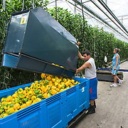 September 2009 20090901 ..Een arbeider immigrant leegt een volle container paprika's in transport kisten.  .An immigrant worker at work in greenhouse, immigration.                               ..Foto: David Rozing