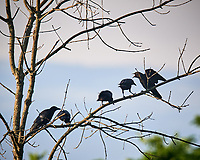 American Crows in a tree. Image taken with a Nikon D5 camera and 600 mm f/4 VR lens (ISO 500, 600 mm, f/5.6, 1/1250 sec)