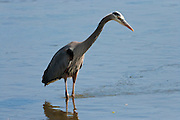 A Great Blue Heron (Ardea herodias fannini) stands still waiting for a fish to swim by in the Hood Canal of Puget Sound, WA, USA