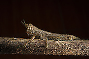 Bark Mimic Grasshopper (Acrididae)<br /> Yasuni National Park, Amazon Rainforest<br /> ECUADOR. South America