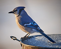 Blue Jay in the Morning Sun. Image taken with a Nikon D5 Camera and 600 mm f/4 VR lens (ISO 360, 600 mm, f/4, 1/640 sec).