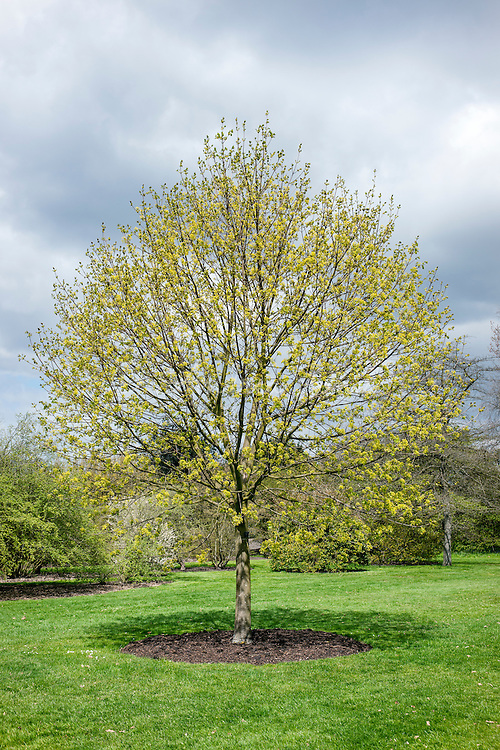 Acer platanoides (Norway maple) with spring foliage at RBG Kew