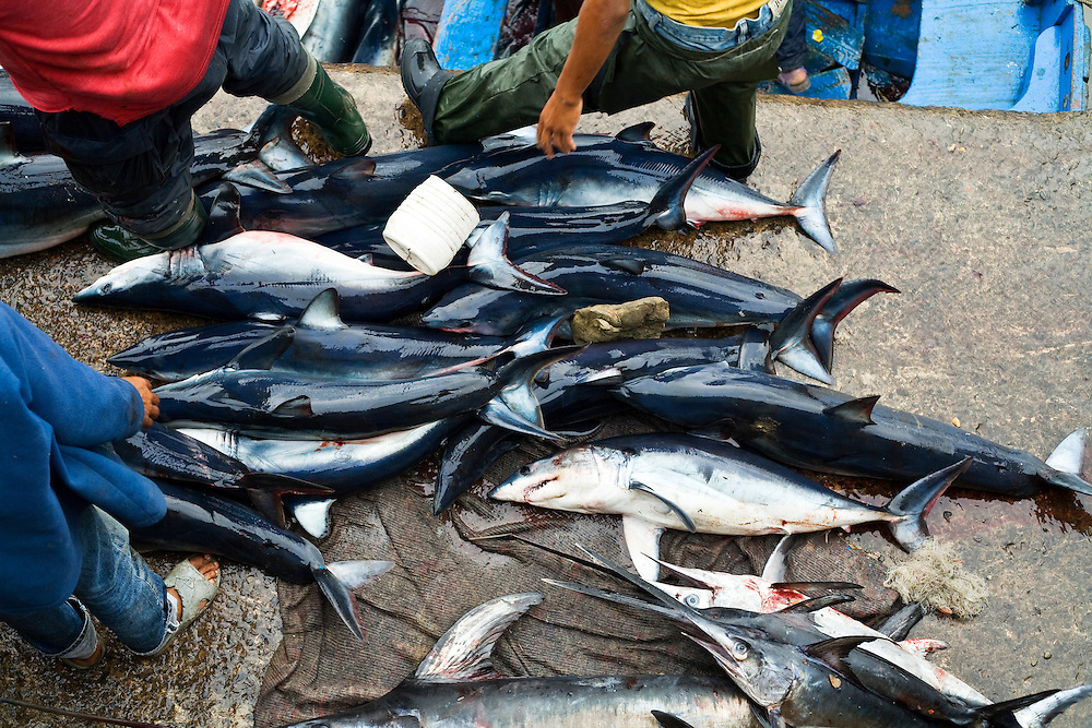 Fishing boats unload a catch of Sharks and Bill fish caught off the Atlantic coast