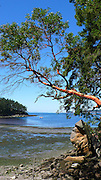 Madrona Tree, Sucia Island, San Juan Islands, Washington State