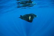 Giant oceanic manta ray (Manta birostris) - Yucatan - Mexico