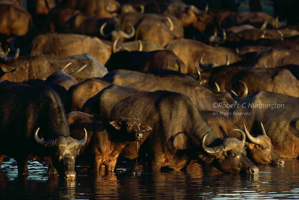 A Cape Buffalo herd drinking, bathed in the last rays of the setting sun