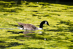 © Licensed to London News Pictures. 19/05/2020. London, UK. A duck swims in Finsbury Park lake in north London covered in green Algae caused by recent hot weather in the capital. According to the Met Office, 27 degrees celsius is forecast for tomorrow. Photo credit: Dinendra Haria/LNP