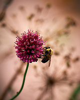 Bumble Bee on a Red Allium. Image taken with a Nikon D810a camera and 70-300 mm VR lens