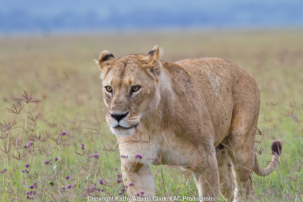 African lion, Panthera leo, female walking in the grass, Ngorongoro Conservation area, Ngorongoro Crater, Tanzania.