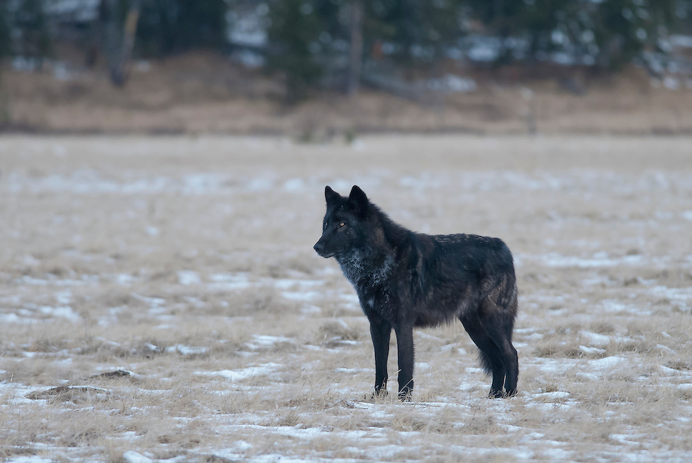 A black wolf (Canis lupus) looks warily across Cascade Meadow in Yellowstone National Park.