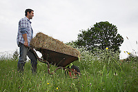 Man transporting hay in wheelbarrow in field