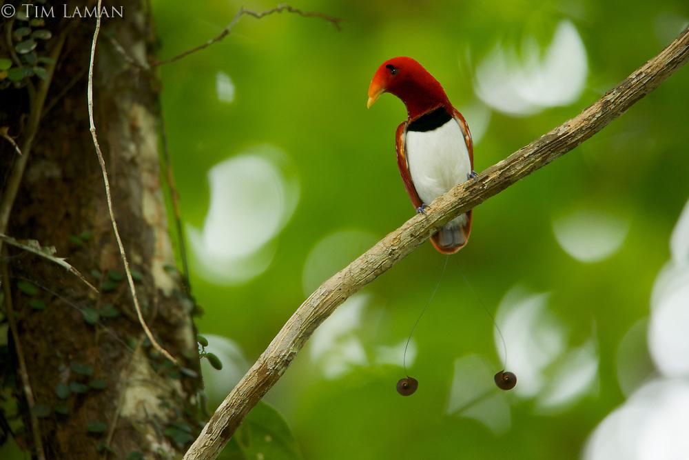 King Bird of Paradise (Cicinnurus regius) male.