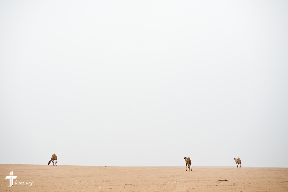 Camels walk through the desert on Sunday, March 22, 2015, in Kuwait. LCMS Communications/Erik M. Lunsford