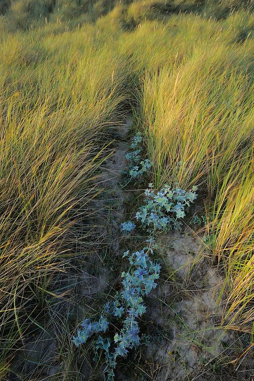 Sea Holly (Eryngium maritimum) and European Beach Grass (Ammophila arenaria), Denmark