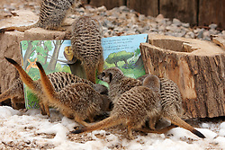 "© Licensed to London News Pictures.  09/02/2012. LONDON, UK. Keeper Nathan Coles (not pictured) ""reads"" a book to inquisitive meerkats at ZSL London Zoo in Regents Park. The series of books, written by award winning authors with the help of keepers, are being launched today and form part of the Stories from the Zoo week which begins on Saturday (11 Feb). Photo credit :  Cliff Hide/LNP"