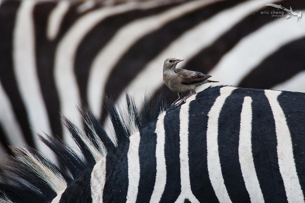 A small bird on the back of a Burchell's zebra (Equus burchellii). Serengeti, Tanzania.