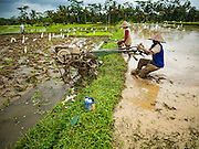 18 JULY 2016 - UBUD, BALI, INDONESIA:    A farmer moves his tilling machine from one rice paddy to another. He was tilling fields near Ubud, preparing them for planting. Rice is an integral part of the Balinese culture. The rituals of the cycle of planting, maintaining, irrigating, and harvesting rice enrich the cultural life of Bali beyond a single staple can ever hope to do. Despite the importance of rice, Bali does not produce enough rice for its own needs and imports rice from nearby Thailand.    PHOTO BY JACK KURTZ
