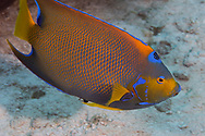 Blue Angelfish, Holacanthus bermudensis<br />