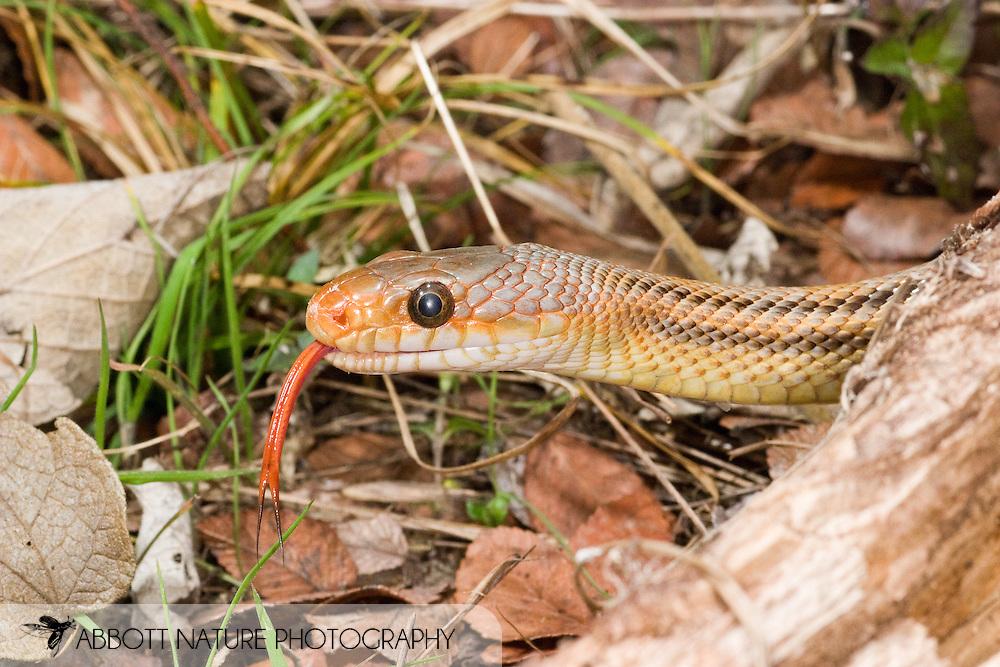 Baird's Rat Snake (Pantherophis bairdi)<br /> TEXAS: Kerr Co.<br /> J.C. Abbott