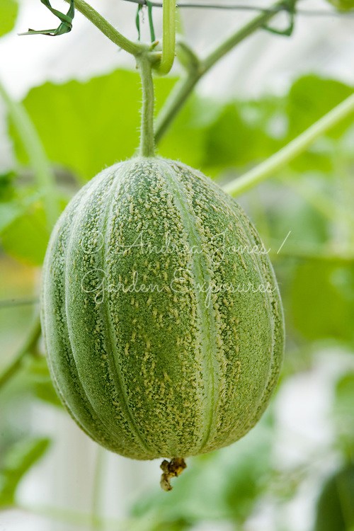 Cucumis melo (African melon)