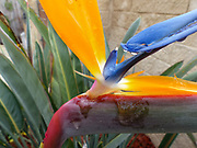 Extreme close up and selective focus of a Bird of paradise flower