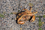 Sylt, Germany. Hörnum. Dead crab with flies.
