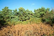 Suffolk Sandlings vegetation in autumn,