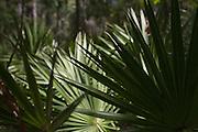 Palmetos in Timucuan