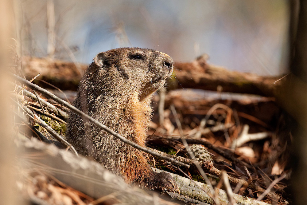 ground hog, ground hog on creek, nc wildlife, nc wildlife photography, north carolina wildlife photographer, north carolina wildlife photography