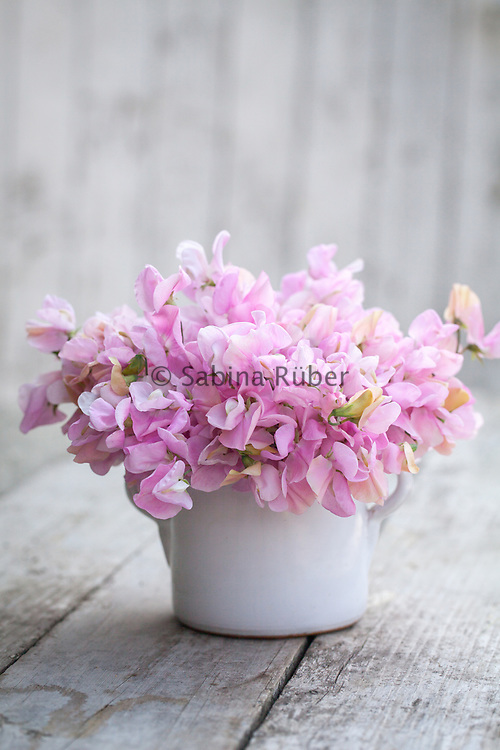 Lathyrus odoratus 'Nelly Viner' - sweet pea arrangement in small white jug